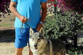 Auf Mallorca werden Iberische Wolfshunde gezüchtet