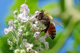 Mallorca exportiert Bienen nach Ibiza