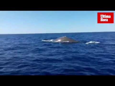 Wal vor Porto Cristo im Südosten von Mallorca gesichtet