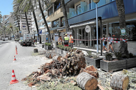 Palme blockierte Verkehr am Paseo Marítimo