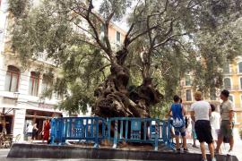 Zaun für emblematischen Olivenbaum