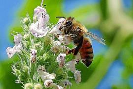 Mallorca gehen die Honigbienen aus