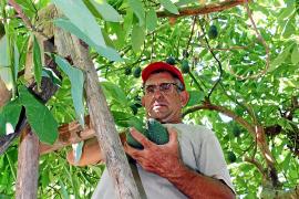 Avocados aus Mallorca, gefragt wie nie