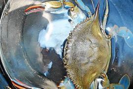 Erste Blaukrabbe auf Mallorca gefangen