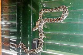 Schlangen erobern nach und nach Mallorca
