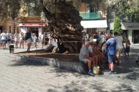 Neue Absperrung für alten Baum