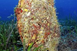 Edle Steckmuschel ist im Mittelmeer akut bedroht