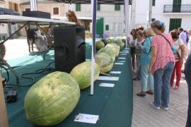 Melonenwettbewerb in Vilafranca auf Mallorca.