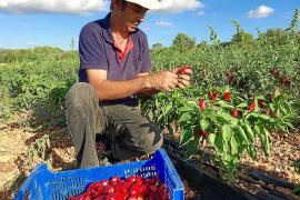 Landwirt Biel Torrens gehört zu den wenigen Bauern auf der Insel, die noch die typische mallorquinische Paprikasorte anbauen