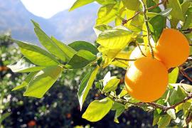 Orangen-Anbau in Sóller: 55 Tonnen mehr geerntet