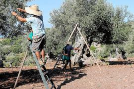 Das macht Tafeloliven aus Mallorca so besonders