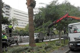 Palma meldet erste Erfolge im Kampf gegen Palmensterben