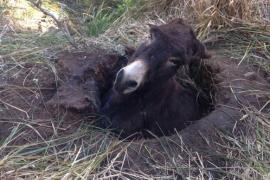 Feuerwehr auf Mallorca zieht Esel aus Erdloch