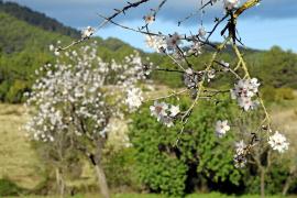 Die Mandelblüte auf Mallorca erleben