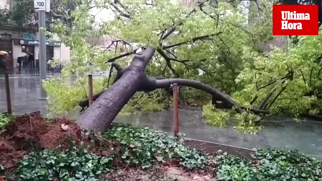 Sturm fällt Baum an Palmas Plaza España