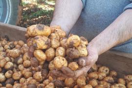 Mallorcas Kartoffel als Exportschlager für Nordeuropa