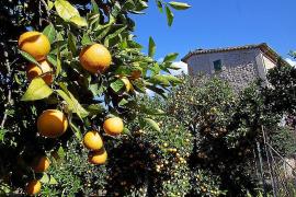 Ein Jahr Haft für Orangendieb auf Mallorca
