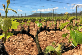 Son Ramon wurde 1649 gegründet. Ein Dokument von 1760 weist 37 Hektar Weinland aus.