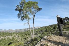Pinienwälder in Bunyola von Borkenkäferplage bedroht