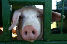 Prozess wegen verhungerter Schweine