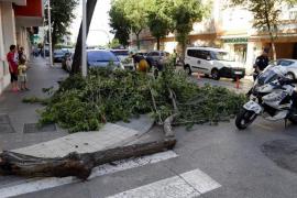 Mitten in Palma: Riesiger Ast kracht auf fahrendes Auto