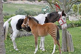 Erneut Zebra-Pferd-Mischling auf Mallorca geboren