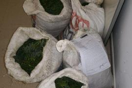 Polizei beschlagnahmt 35 Kilo geschützten Meerfenchel