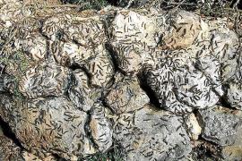 Raupeninvasion bedroht Mallorcas Steineichen