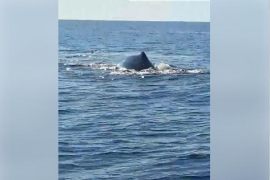 Fischer sichten Wale im Meer vor Mallorca