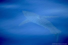 Weißer Hai unweit von Mallorcas Küste gesichtet