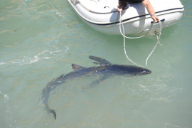 Blauhai erschreckt Badegäste vor Palmas Stadtstrand