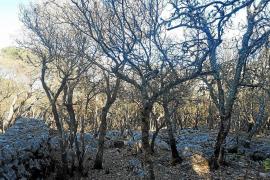 Großeinsatz gegen Raupenplage auf Mallorca