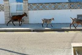 Anwohner beklagen Ziegenplage in Cala Sant Vicenç