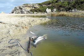 Tote Fische im Sporthafen von Alcúdia