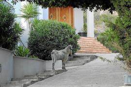 Ziegen machen auch vor Port d'Andratx nicht Halt