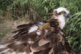 Fischadler-Dame verlässt Mallorca Richtung Portugal
