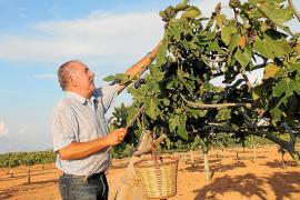 Mallorcas perfekter Baum spendet süße Früchte