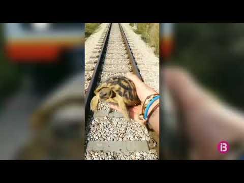 Lokführer stoppt Zug und rettet Schildkröte vor Manacor