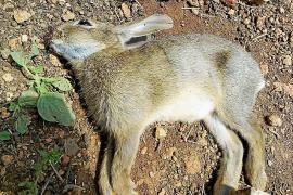 Nach Epidemie: Inselrat setzt resistente Hasen aus
