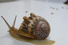Adéu, Tomeu! Mallorcas berühmteste Schnecke ist tot