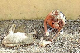 Verwahrloste Schafe auf Grundstück bei Andratx