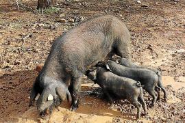 Bei ihrer Geburt sind die Tiere pechschwarz, später ergrauen ihre Borsten.