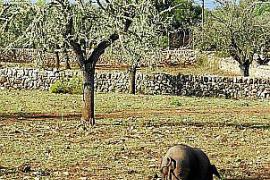 Auf Torres' Finca führen die Schweine ein glücliches Leben - bis sie am Ende im Kochtopf landen.