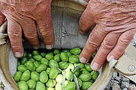 Anbau von Tafeloliven auf Mallorca boomt