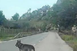 Wolfshund auf Mallorca soll Deutsche vertrieben haben