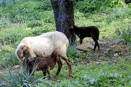 Nach ihrer Geburt sind die Lämmer noch von Kopf bis Fuß rotbraun gefärbt.