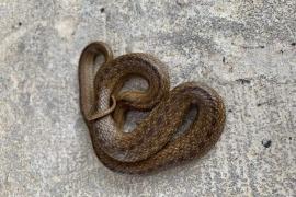 Anwohner von Cala Blava finden seltene Schlange