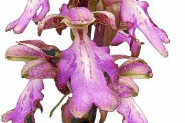 Orchideenausstellung in Palmas Misericòrdia