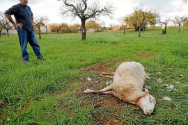 80 Schafe auf Mallorca von Hunden gerissen
