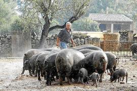 Nachfrage nach schwarzen Schweinen zu groß
